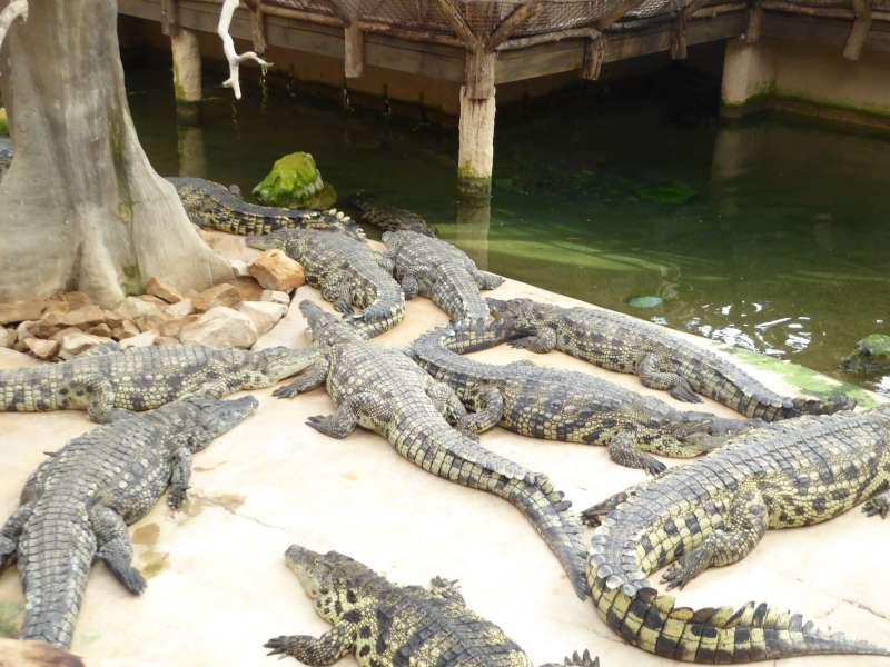krokodillen_Alligator_Bay