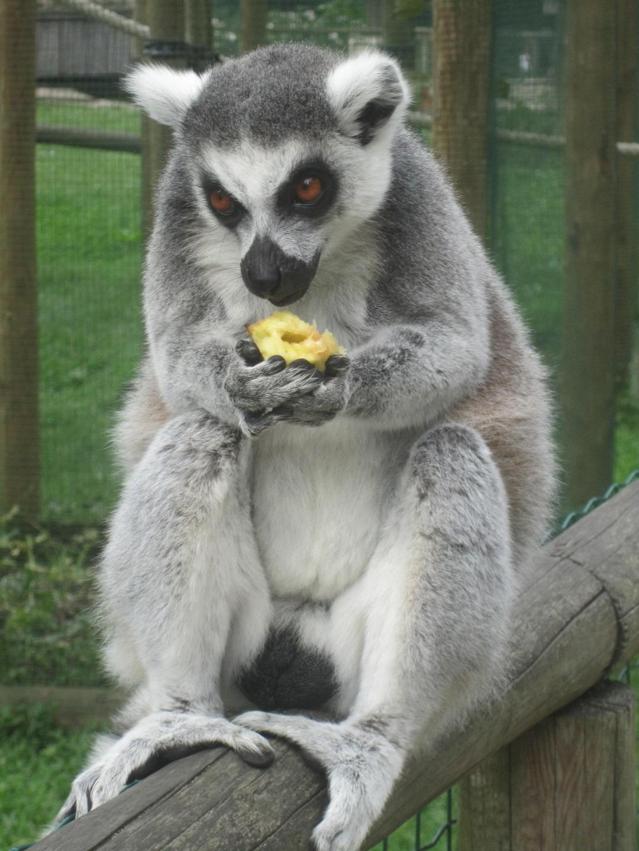 Lemuren Apen Bellewaerde