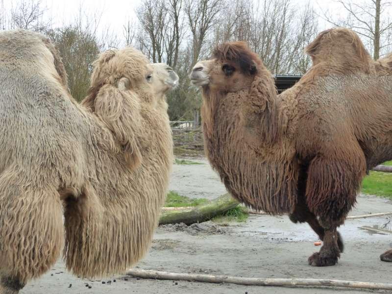 Kamelen Zonnegloed