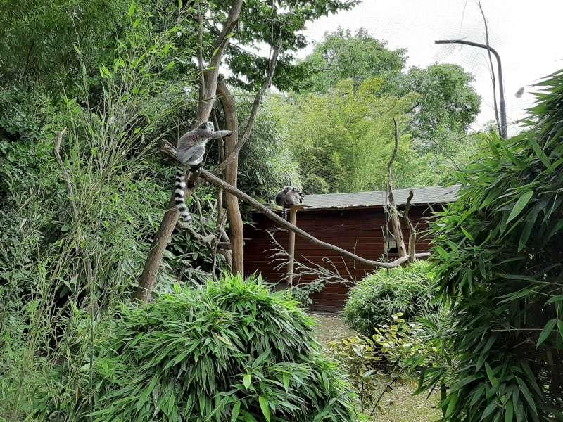 lemuren Dierenpark De Oliemeulen