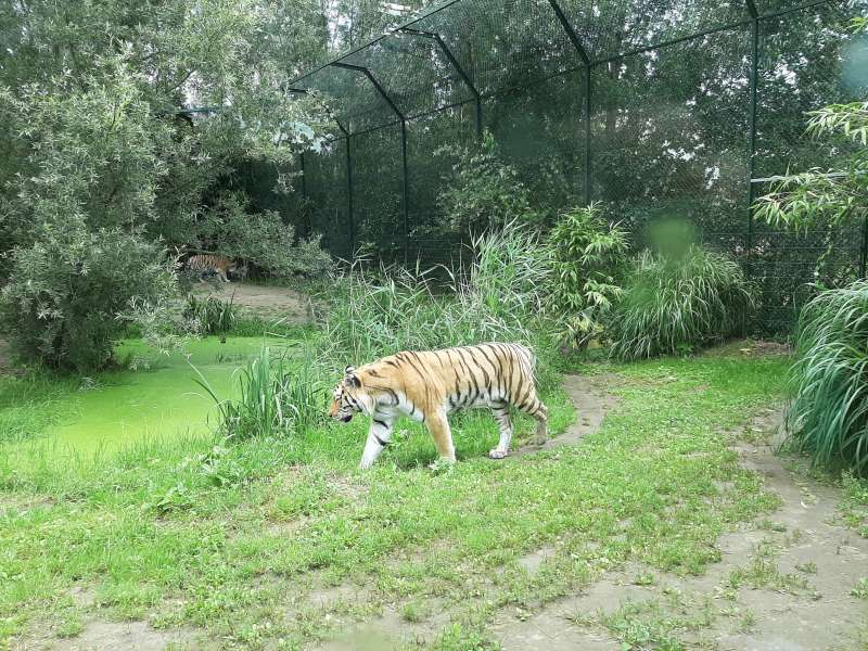 tijger Dierenrijk