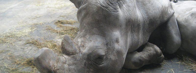 Zoo de Cerza France rhino