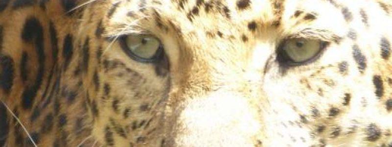 Zoologischer Stadtgarten Karlsruhe leopard