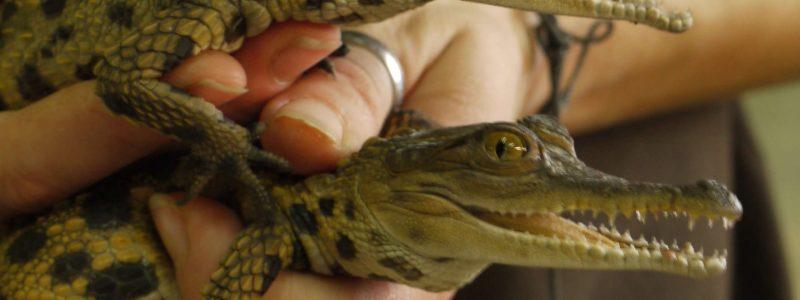 bebe-crocodiles-Biotropica