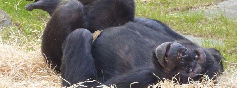 Chimpansee Zoo Antwerpen