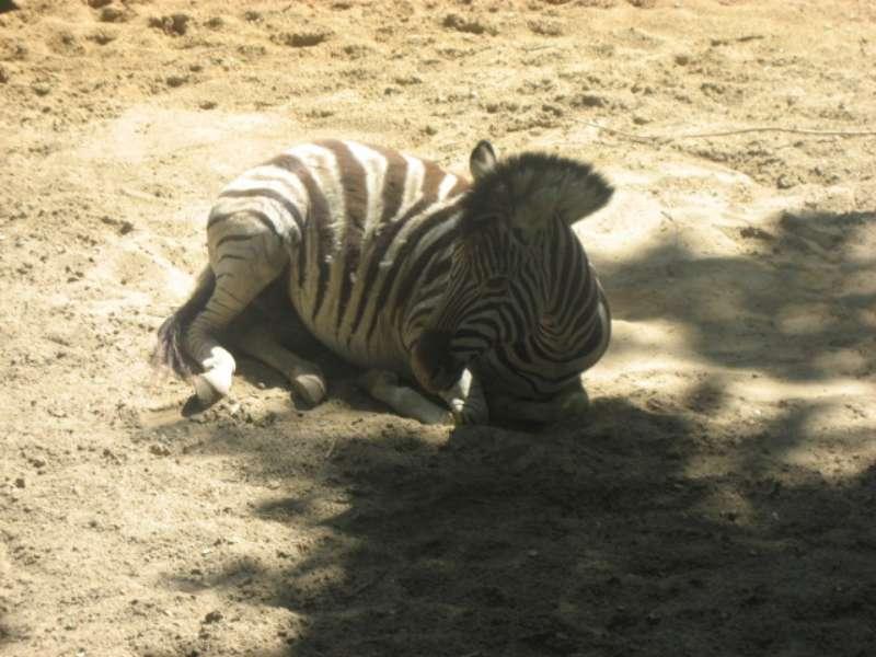 Zebra Ouwehands Dierenpark Rhenen 800