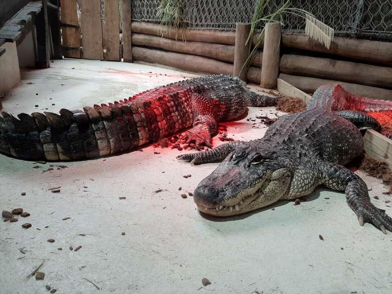 Krokodil Pairi Daiza