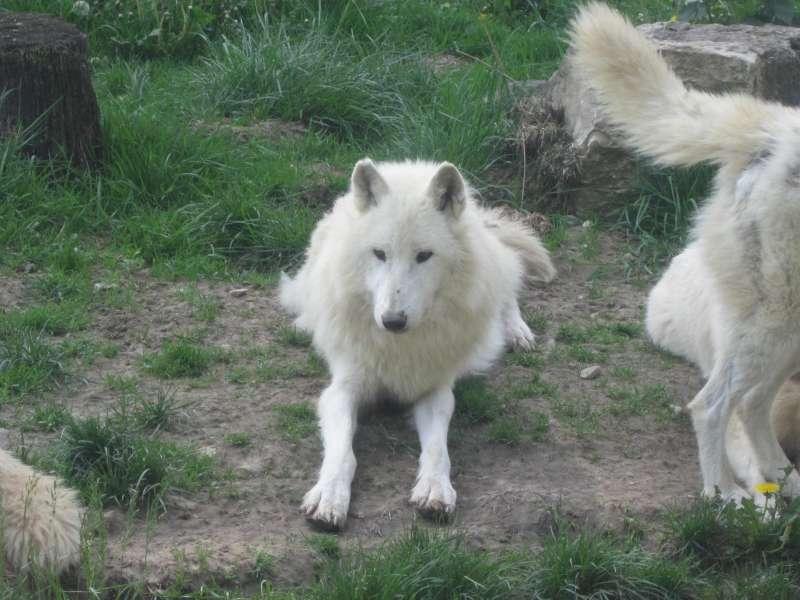 wolf_Parc_Aimalier_Sainte_Croix