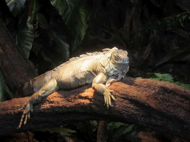 Leguaan Reptielenhuis De Aarde