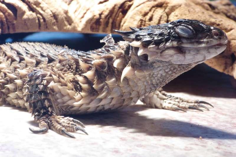 Reptiel Iguana
