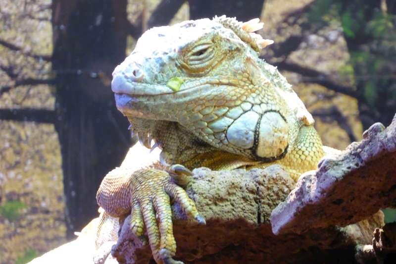 Reptielen Iguana