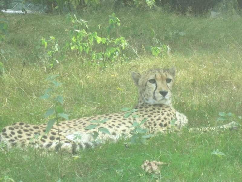 Cheetah Beekse Bergen