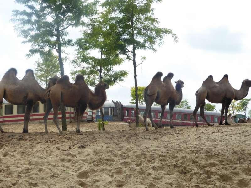 Kamelen Wildlands Emmen