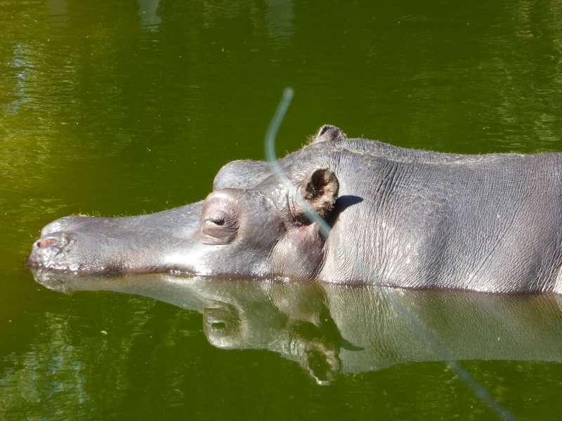 Nijlpaard Zoo Antwerpen