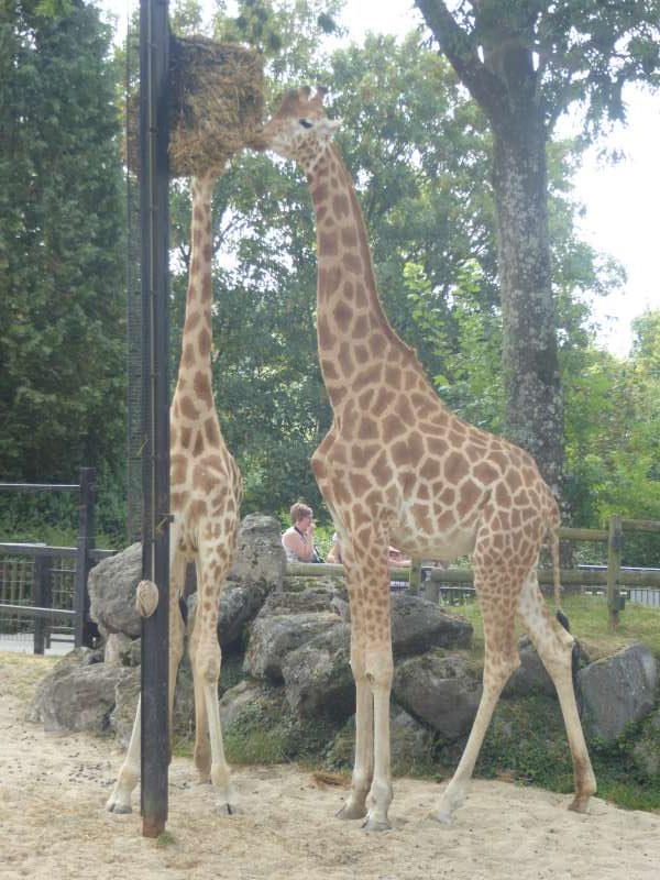 Zoo de Maubeuge giraffen