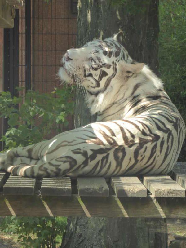 Zoo de Maubeuge witte tijger