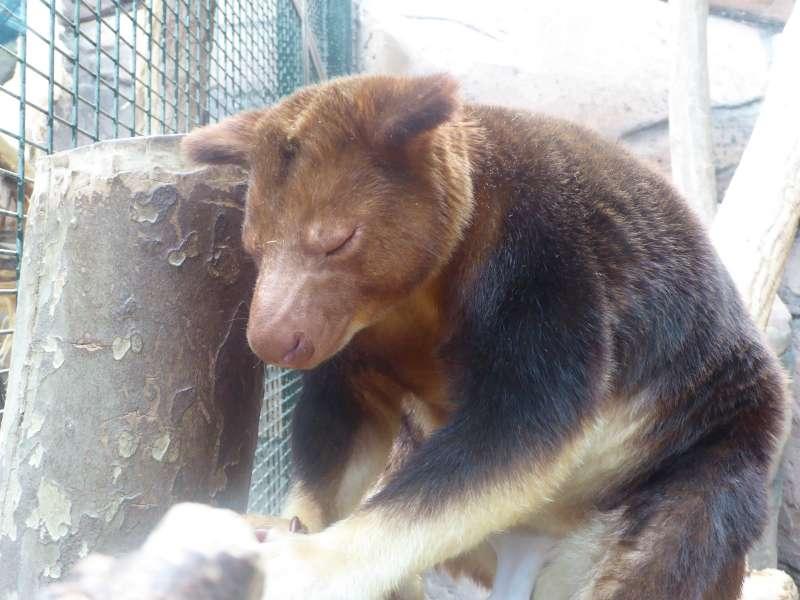 boomkangoeroe_Zoo_de_Beauval
