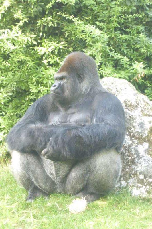 gorilla_Zoo_de_Beauval_2