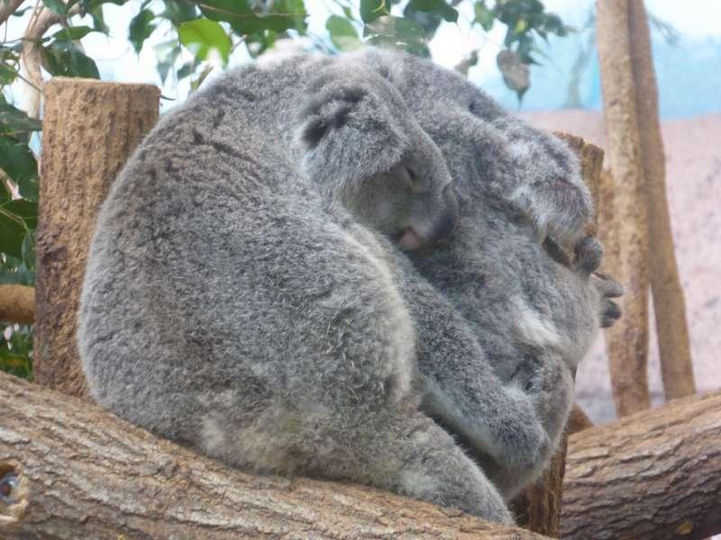 koala_Zoo_de_Beauval