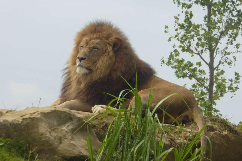 leeuw_Zoo_de_Beauval