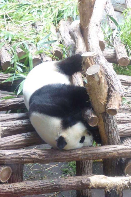 reuzepanda_Zoo_de_Beauval_2